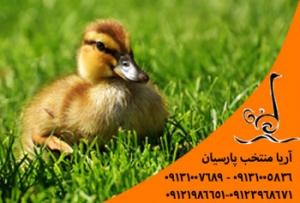 قیمت روز جوجه اردک گوشتی و تخم گذار