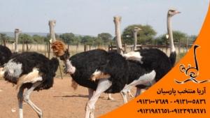 مزایای صادرات شترمرغ