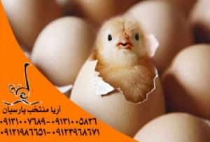 بیمه اولی های طیور 50 درصد تخفیف می گیرند - جوجه مرغ نطفه دار، فروش تخم مرغ نطفه دار به صورت عمده