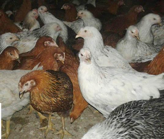 نیمچه مرغ گلپایگانی