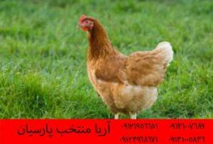 فروش جوجه بوقلمون,فروش شترمرغ,جوجه بوقلمون,پرورش جوجه,کیفیت جوجه, کیفیت جوجه ، , مرغ , مرغ بومي , مرغ بومي گلپايگاني , مرغ بومي تخمگذار , تخمگذار , مرغ تخمگذار , جوجه مرغ بومي , جوجه تخمگذار بومي , مرغ بومي 5 ماهه , مرغ 5 ماهه , مرغ 5 ماهه بومي گلپايگان , مرغ بومي گلپايگان اصل , مرغ لوهمن قهوه , مرغ لومهن , مرغ بومي بلك , مرغ بومي گوشتي , مرغ بومي گلپايگاني , مرغ ال اس اس, مرغ پولت , نيمچه مرغ بومي , مرغ بومي محلي , - بوقلمون بيوتي , بوقلمون_گوشتي , بوقلمون گوشتي , خريد بوقلمون BUT6 , بوقلمون بومي , بوقلمون بيوتي , بوقلمون صنعتي , بوقلمون ارگانيك , بوقلمون سفيد , بوقلمون بيوتي 6 , بوقلمون بيوتي فوق سنگين , بوقلمون محلي شمال , خريد بوقلمون گوشتي در ورامين , فروش بوقلمون فرانسوي , فروش جوجه بوقلمون يكماهه در ورامين , بوقلمون بي يو تي در اروميه , قيمت جوجه بوقلمون بي يو تي , قيمت جوجه بوقلمون پانزده روزه , قيمت جوجه بوقلمون 15 روزه , حمل بوقلمون بيوتي زنده در ورامين , بوقلمون گوشتي در ورامين , خريد و فروش بوقلمون در ورامين, فروش بوقلمون گوشتي در ورامين , بوقلمون بيوتي 6 , خريدار جوجه بوقلمون but , جوجه يكماهه بوقلمون در ورامين , پرورش بوقلمون, جوجه بوقلمون , بوقلمون بيوتي 6 فوق سنگين, بوقلمون بيوتي 6 , قيمت جوجه بوقلمون بي يو تي , پرورش بوقلمون , جوجه بوقلمون, بوقلمون برنز , بوقلمون برنز آمريكايي , بوقلمون برنز انگليسي , بوقلمون برنز انگليس , بوقلمون برنز آمريكا , بوقلمون برنز كانادا , بوقلمون برنز ماسوله , بوقلمون برنز انگليس يكماهه , بوقلمون برنز فرانسوي , بوقلمون برنزآمريكا , بوقلمون برنز انگليسي 35 روزه , بوقلمون برنزه , بوقلمون برنز , مرغ , مرغ بومي , مرغ بومي گلپايگاني , مرغ بومي تخمگذار , تخمگذار , مرغ تخمگذار , جوجه مرغ بومي , جوجه تخمگذار بومي , مرغ بومي 5 ماهه , مرغ 5 ماهه , مرغ 5 ماهه بومي گلپايگان , مرغ بومي گلپايگان اصل , مرغ لوهمن قهوه , مرغ لومهن , مرغ بومي بلك , مرغ بومي گوشتي , مرغ بومي گلپايگاني , مرغ ال اس اس, مرغ پولت , نيمچه مرغ بومي , مرغ بومي محلي , بلدرچين , بلك استار , پليموت راك , مرغ بومي بلك , مرغ بومي بلك استار , مرغ بلك استار , مرغ , مرغ بومي تخمگذار , مرغ بومي محلي , نيمچه مرغ , نيمچه , نيمچه دو ماهه بلك , مرغ لوهمن قهوه , مرغ لوهمن , مرغ