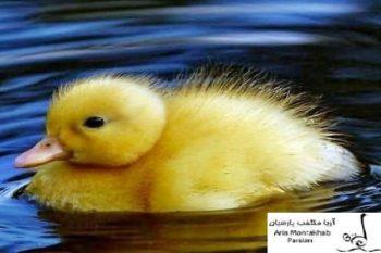 جوجه اردك جوجه اردكفروش جوجه اردك پكني|فروش جوجه یک روزه09121986651|فروش جوجه یک روزه اردک پکنی|فروش جوجه یک ماهه اردک پکنی|فروش اردک پکنی|خرید پرواریی اردک|