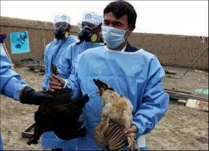 دومین کانون آنفلوانزای فوق حاد پرندگان در استان یزد شناسایی شد