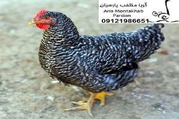 فروش مرغ بومي گلپايگان