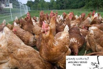اریا منتخب طرح مرغ تخمگذار بومی می گوید: ۲۰ روز است که مرغ 09121986651اریا منتخب های خریداری شده به مرحله تخم گذاری رسیده اند.