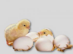 جوجه مرغ گوشتی