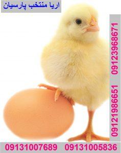 قیمت خرید تخم نطفه دار راس جهت صادرات به عراق تخم نطفه دار،تخم مرغ، تخم،