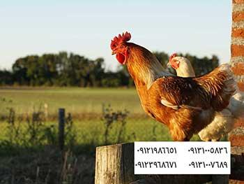 شش فاکتور مهم در واکسیناسیون موثر برای آنفولانزای پرندگان - بوقلمون بيوتي , بوقلمون_گوشتي , بوقلمون گوشتي , خريد بوقلمون BUT6 , بوقلمون بومي , بوقلمون بيوتي , بوقلمون صنعتي , بوقلمون ارگانيك , بوقلمون سفيد , بوقلمون بيوتي 6 , بوقلمون بيوتي فوق سنگين , بوقلمون محلي شمال , خريد بوقلمون گوشتي در ورامين , فروش بوقلمون فرانسوي , فروش جوجه بوقلمون يكماهه در ورامين , بوقلمون بي يو تي در اروميه , قيمت جوجه بوقلمون بي يو تي , قيمت جوجه بوقلمون پانزده روزه , قيمت جوجه بوقلمون 15 روزه , حمل بوقلمون بيوتي زنده در ورامين , بوقلمون گوشتي در ورامين , خريد و فروش بوقلمون در ورامين, فروش بوقلمون گوشتي در ورامين , بوقلمون بيوتي 6 , خريدار جوجه بوقلمون but , جوجه يكماهه بوقلمون در ورامين , پرورش بوقلمون, جوجه بوقلمون , بوقلمون بيوتي 6 فوق سنگين, بوقلمون بيوتي 6 , قيمت جوجه بوقلمون بي يو تي , پرورش بوقلمون , جوجه بوقلمون, بوقلمون برنز , بوقلمون برنز آمريكايي , بوقلمون برنز انگليسي , بوقلمون برنز انگليس , بوقلمون برنز آمريكا , بوقلمون برنز كانادا , بوقلمون برنز ماسوله , بوقلمون برنز انگليس يكماهه , بوقلمون برنز فرانسوي , بوقلمون برنزآمريكا , بوقلمون برنز انگليسي 35 روزه , بوقلمون برنزه , بوقلمون برنز , مرغ , مرغ بومي , مرغ بومي گلپايگاني , مرغ بومي تخمگذار , تخمگذار , مرغ تخمگذار , جوجه مرغ بومي , جوجه تخمگذار بومي , مرغ بومي 5 ماهه , مرغ 5 ماهه , مرغ 5 ماهه بومي گلپايگان , مرغ بومي گلپايگان اصل , مرغ لوهمن قهوه , مرغ لومهن , مرغ بومي بلك , مرغ بومي گوشتي , مرغ بومي گلپايگاني , مرغ ال اس اس, مرغ پولت , نيمچه مرغ بومي , مرغ بومي محلي , بلدرچين , بلك استار , پليموت راك , مرغ بومي بلك , مرغ بومي بلك استار , مرغ بلك استار , مرغ , مرغ بومي تخمگذار , مرغ بومي محلي , نيمچه مرغ , نيمچه , نيمچه دو ماهه بلك , مرغ لوهمن قهوه , مرغ لوهمن , مرغ لوهمن دم طلايي , شترمرغ , شترمرغ پرواري , شترمرغ هچري يكماهه دوماهه , شترمرغ مولد , شترمرغ پرواري , شترمرغ استراليايي , شترمرغ ايران , شترمرغ آفريقايي , شترمرغ تربت حيدريه , شترمرغ اصفهان , شترمرغ يكماهه , شترمرغ روغن , روغن شترمرغ , شترمرغ زرينشهر , شترمرغ هچري , شترمرغ گيلان , شترمرغ گردن آبي , شترمرغ گوشتي , شترمرغ نر , شترمرغ ماده , شترمرغي , شترمرغ 45 رو