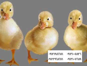 قیمت روز جوجه یکروزه اردک