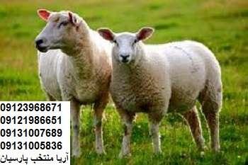 پرورش گوسفند پرواري